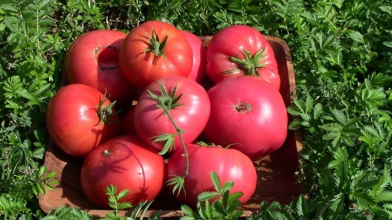 """В каком грунте томат """"Розмарин"""" дает наибольшую урожайность и что еще на неё влияет?"""