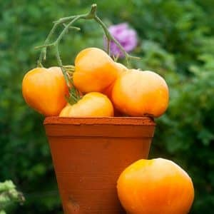 """Вкусный и проверенный временем томат """"Сердце Ашхабада"""": обзор сорта и азов его выращивания"""