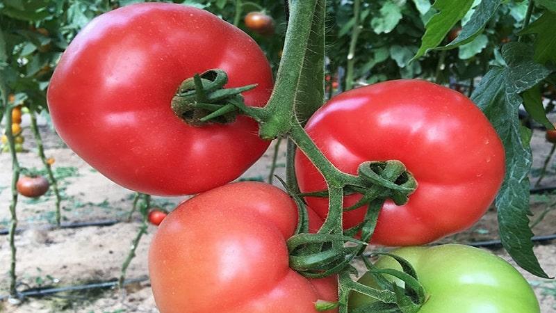 """Как вырастить ароматный и вкусный томат """"Пинк уникум"""": руководство к действию для начинающих и опытных огородников"""