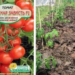 """Сорт помидоров с говорящим названием - томат """"Соседская зависть f1"""": чем хорош и как его правильно выращивать"""