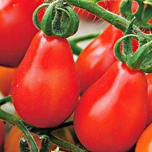 """Как выращивать томат """"Груша красная"""" на своем участке: обзор сорта и секреты ухода от опытных дачников"""