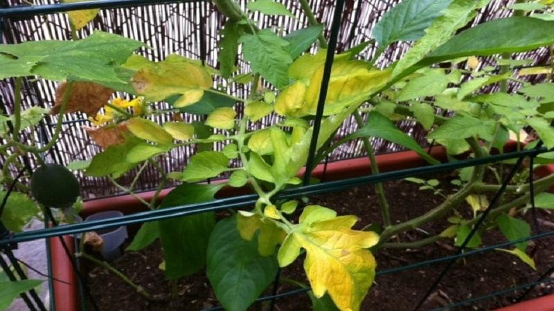 Желтые пятна на листьях рассады томатов и методы борьбы с ними