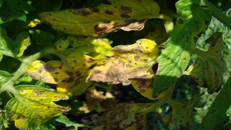 Почему появляются желтые пятна на листьях помидоров в теплице и как спасти свой урожай томатов