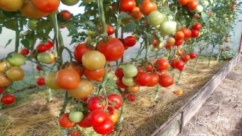 """Созданный отечественными селекционерами гибрид, дающий шикарный урожай – томат """"Евпатор"""""""