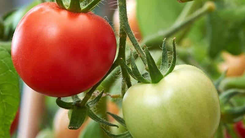 """Замечательный гибрид для выращивания в открытом грунте - сажаем томат """"Жонглер f1"""""""