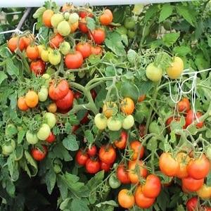 """Хотите получить богатый урожай сладких помидоров с насыщенным вкусом - посадите на участке томат """"Ирина"""""""