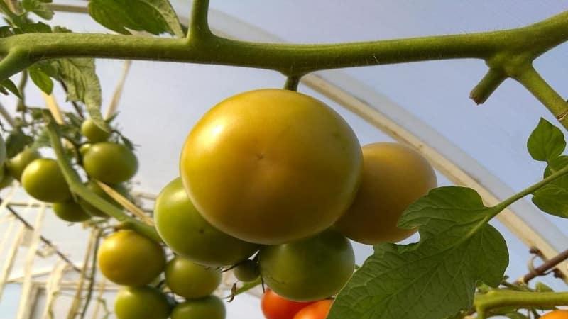 """Высокоурожайные, вкусные и простые в уходе томаты """"Стреза"""" для выращивания в открытом грунте или теплице"""