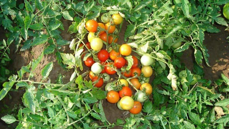 """Обзор сорта томата """"Москвичка"""": плюсы и минусы, а так же как получить хороший урожай"""