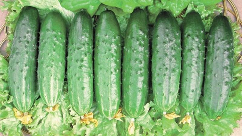 """Как правильно выращивать огурцы """"Клавдия f1"""", чтобы побить рекорды урожайности"""