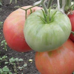 Томат Колокольчик характеристика и описание сорта урожайность с фото