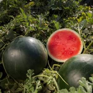 """Чем хорош сорт арбуза """"Икар"""" и почему его стоит выращивать"""