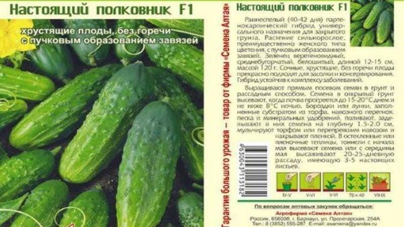 """Универсальный сорт огурцов """"Настоящий полковник"""", любимый многими дачниками"""