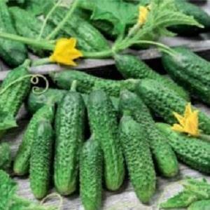 Огурец Амур: описание сорта, выращивание и уход с фото