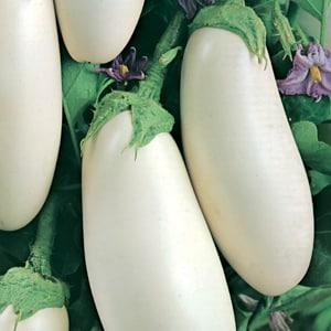 """К каким сложностям нужно готовиться дачнику при выращивании баклажана """"Вкус грибов""""?"""