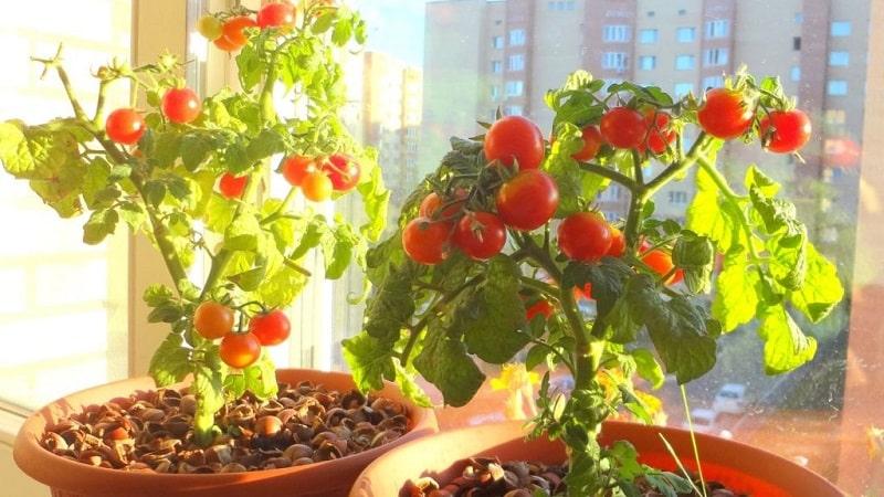 Богатый урожай томатов круглый год: как вырастить помидоры на балконе и что для этого необходимо