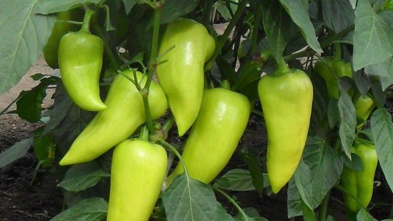 """Болгарский перец """"Купец"""": преимущества и недостатки сорта, нюансы выращивания для получения богатого урожая"""