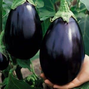"""Почему дачникам нравится сорт баклажана """"Черный красавец"""" и как его выращивать"""