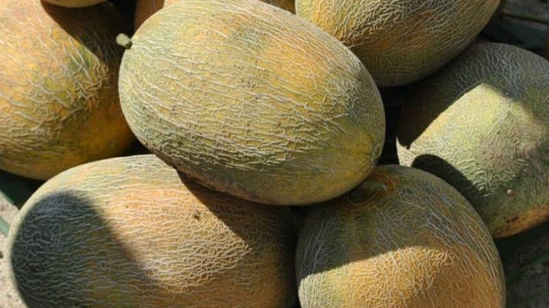 """Любимый дачниками гибрид дыни """"Амал"""" прекрасный на вкус и устойчивый к заболеваниям"""