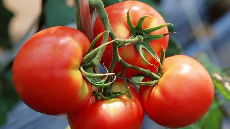 """Фаворит дачников с высокой урожайностью и отличной репутацией - томат """"Буржуй"""" для открытого грунта и теплиц"""