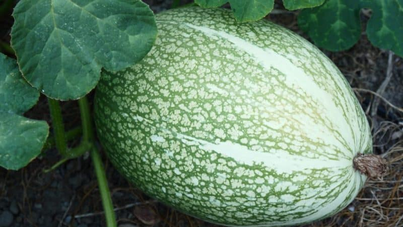 Что такое тыква фиголистная: особенности вида и его применение в кулинарии и народной медицине