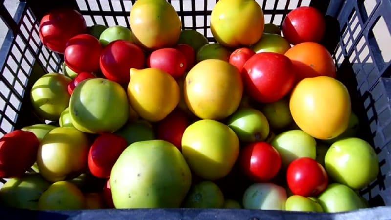 Как покраснеть помидорам дома