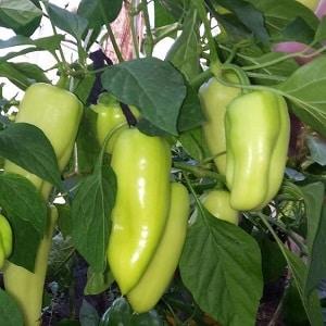 """Гибрид  из Голландии - перец """"Джипси"""": описание и инструкция по выращиванию"""
