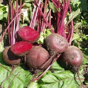 """Почему огородники предпочитают гибрид свеклы """"Водан f1"""" и как его правильно выращивать"""