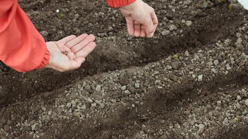 """Голландский гибрид свеклы """"Экшен f1"""": особенности урожая и секреты правильного ухода за ним"""