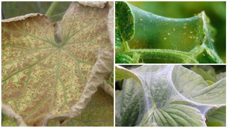 Как избавиться от паутинного клеща на огурцах в теплице: проверенные методы борьбы и профилактики