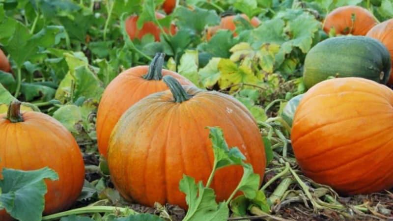 Как получить хороший урожай тыквы: выращивание и уход в открытом грунте, рекомендации огородников со стажем