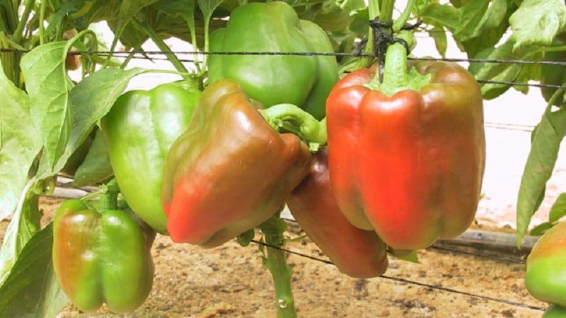 """Как правильно посадить красный крупный гибридный перец """"Омброне"""" и вырастить его"""