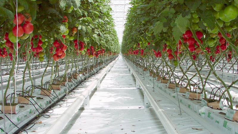 Как выращивать помидоры в теплице зимой пошаговая инструкция для получения богатого урожая круглый год