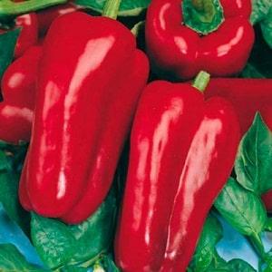"""Как вырастить гибридный перец """"Денис"""", чтобы получить богатый урожай сладких и сочных плодов"""