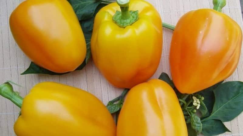 """Как вырастить перец """"Богдан"""" на своем участке: обзор и секреты получения богатого урожая"""