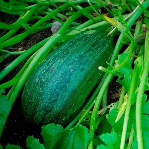 """Как вырастить тыкву """"Грибовскую кустовую"""": секреты агротехники"""