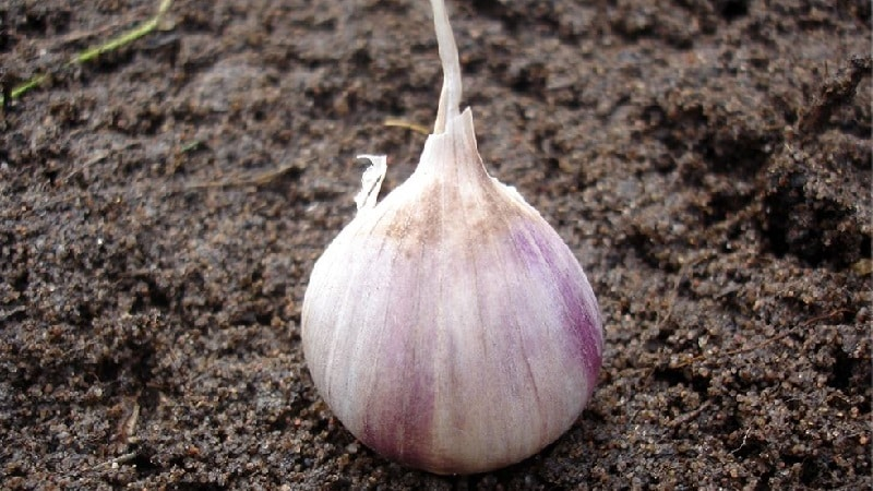 Когда и какое удобрение вносить осенью под чеснок: схемы подкормок и обзор лучших составов для повышения урожайности