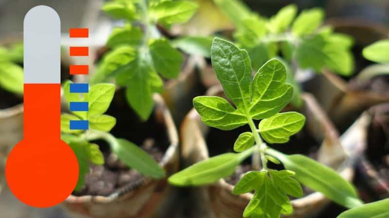 Когда и как правильно посадить помидоры в теплицу из поликарбоната