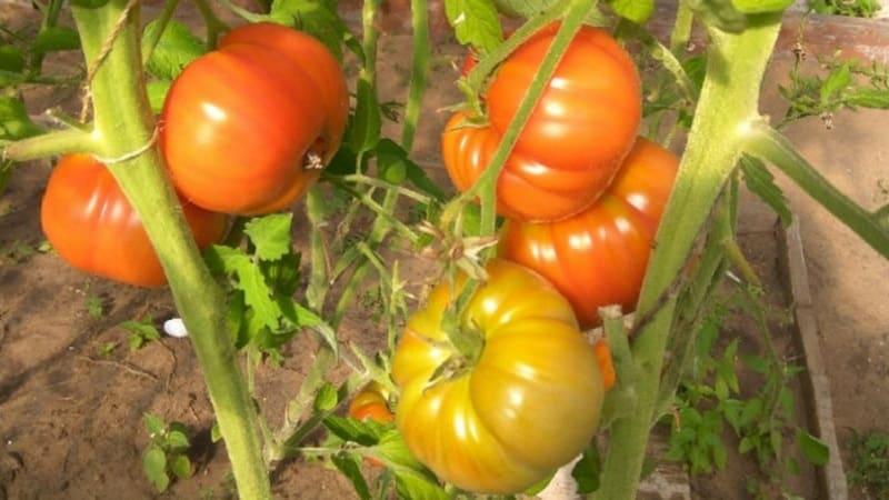 """Крупноплодный сорт от болгарских селекционеров - томат """"Мамина любовь"""""""