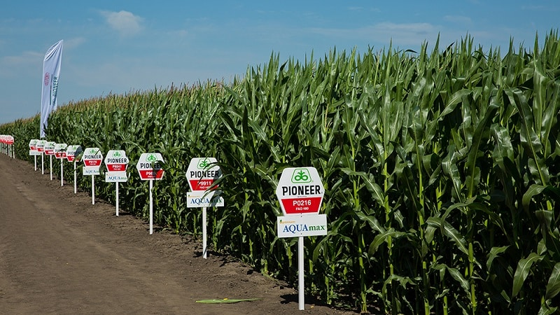 """Лучшие сорта семян кукурузы """"Пионер"""": характеристики, цены и советы по выбору"""
