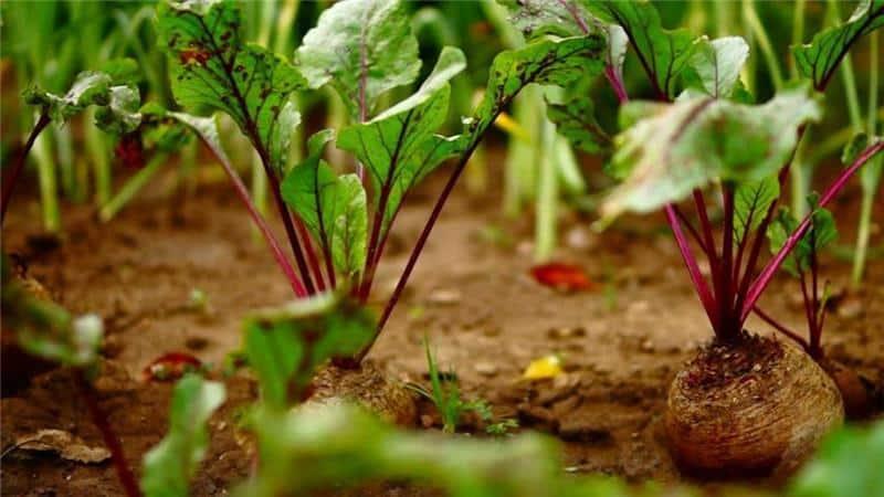 Можно и нужно ли окучивать свеклу: разбираемся в вопросе и изучаем общие правила выращивания корнеплода