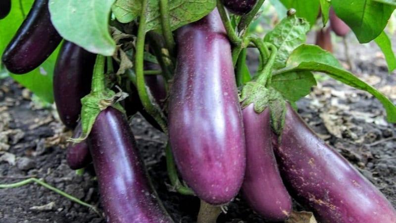 """Неприхотливый сорт баклажанов """"Робин Гуд"""" - идеальный для начинающих фермеров"""