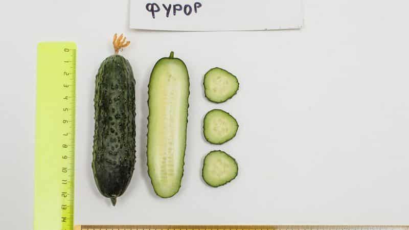 """Обзор огурцов """"Фурор"""": преимущества и недостатки, характеристики урожая и советы по выращиванию"""