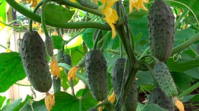 """Удивляющий урожайностью огурец """"Колибри"""" для солений и употребления в свежем виде"""