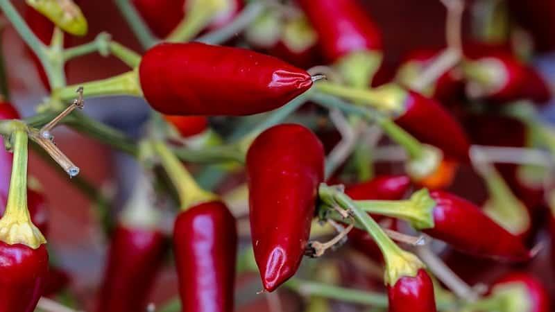 """Особенности и разновидности перца """"Пепперони"""", его выращивание и сферы применения"""