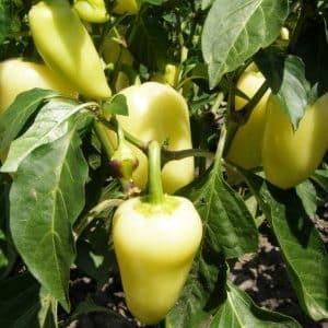 """Чем хорош сорт перца """"Белозерка"""" и почему его стоит попробовать вырастить на своем участке"""