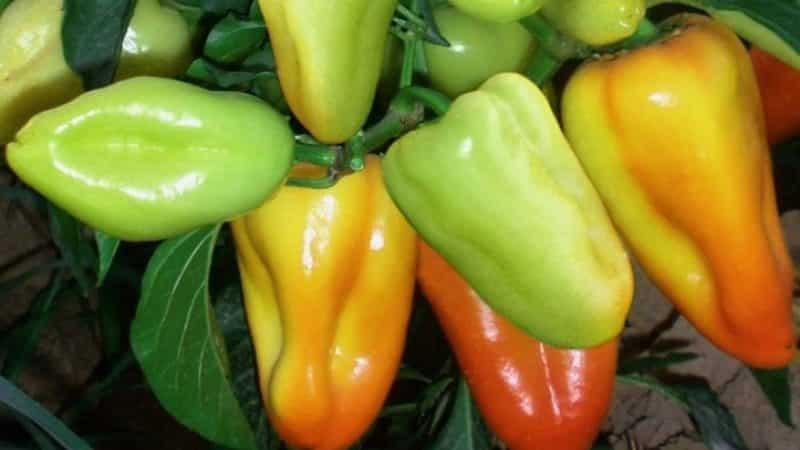 """Гибридный перец """"Буратино"""" для любителей сладких и сочных высокоурожайных сортов"""
