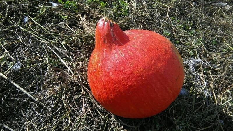 """Почему фермерам так нравится тыква """"Оранж саммер"""": гибрид, легкий в уходе и незаменимый в кулинарии"""