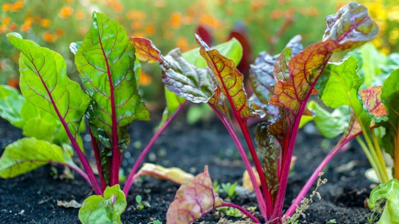 Почему краснеют листья у свеклы и что с этим делать?