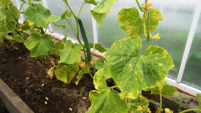 Почему появляются ржавые пятна на листьях огурцов и как с ними бороться