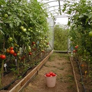 Почему трескаются помидоры при созревании в теплице: выявляем причину и эффективно боремся с ней